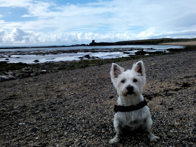 Poppy the westie on the path to Anstruther from St Monens