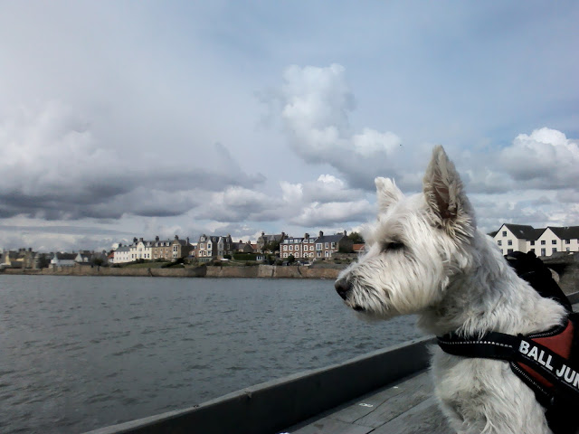 poppy the westie at anstruther