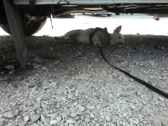 Poppy the westie crashed out under Betsy the motorhome at lake Bohinj