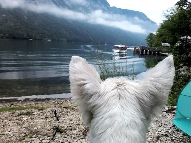 poppy the westie looking for Derich in Lake Bohinj