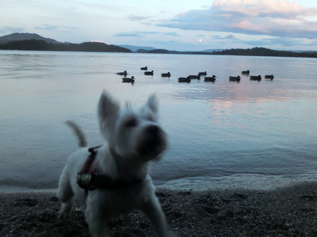 poppy the westie on the shore of loch Lomond at dusk