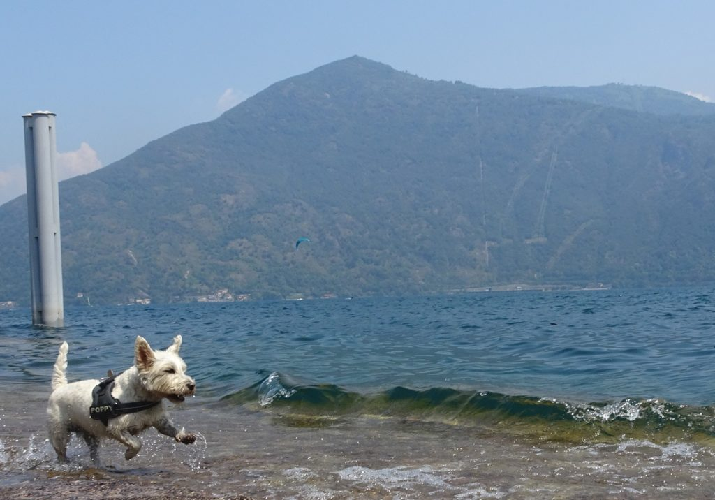 Poppy the westie chasing the waves at Cannobio