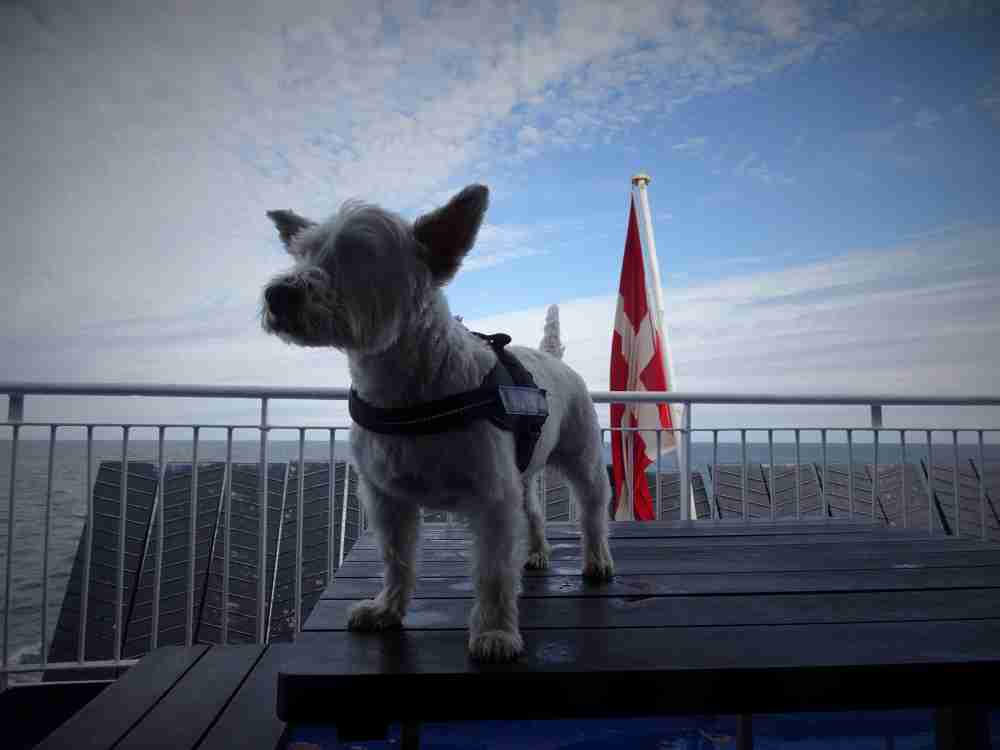 Poppy the westie on the north sea ferry out on deck