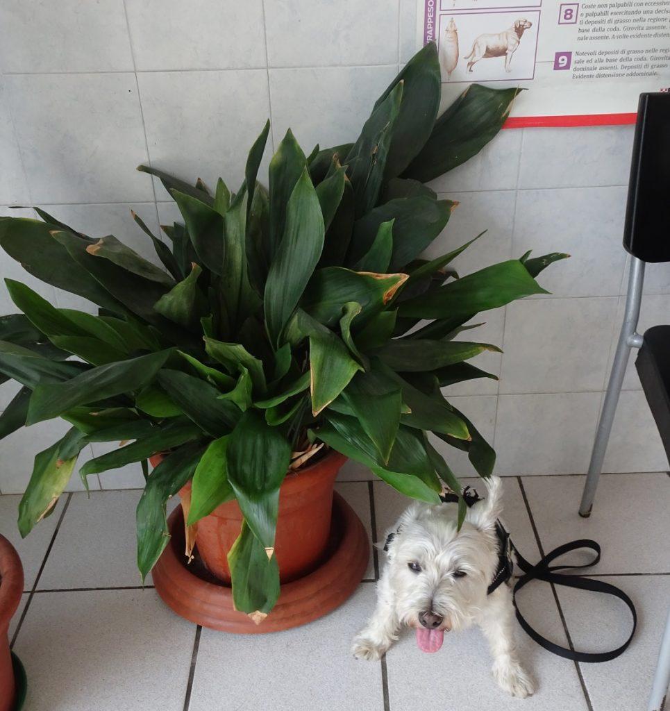 poppysocks in the vet at intra