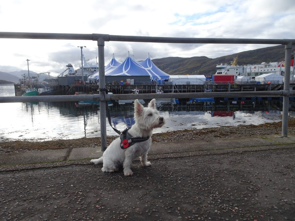 poppy the westie at loopallu