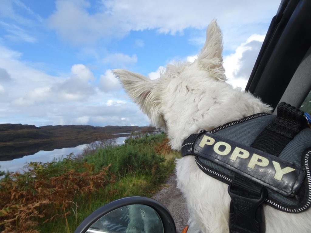 poppy the westie going to Achnahaird Beach