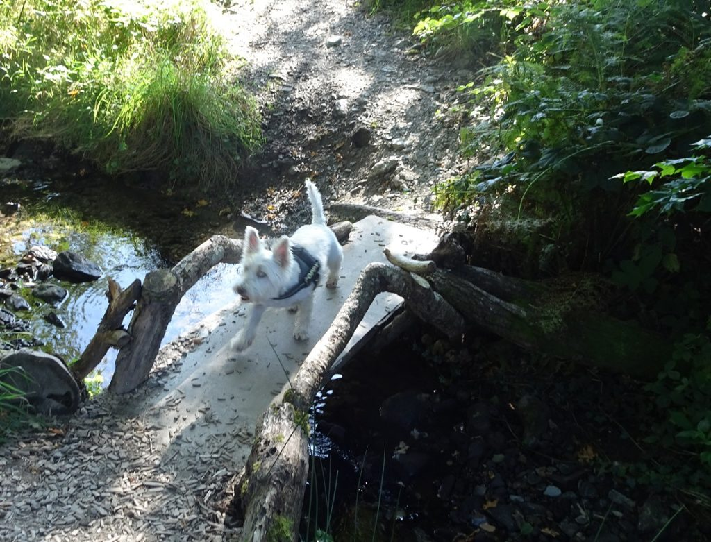 poppy the westie on bridge in fairy glen