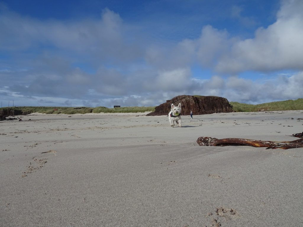 poppy the westie on the sands of Clachtoll