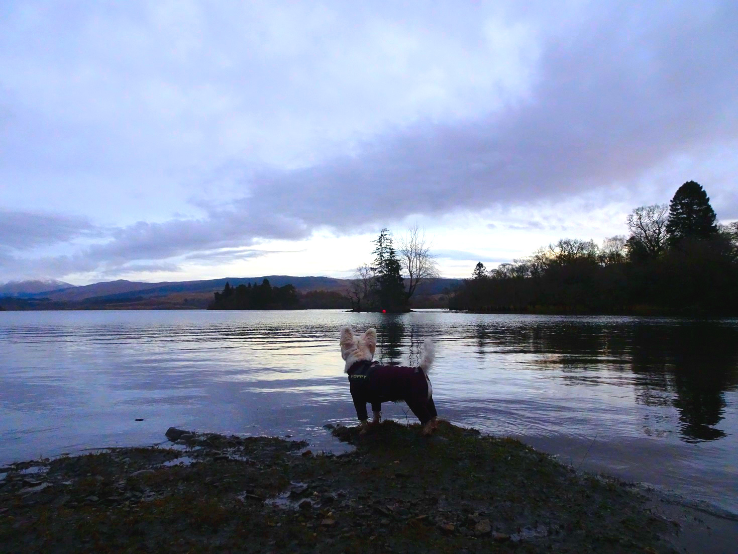 poppy the westie looking out at loch Awe2