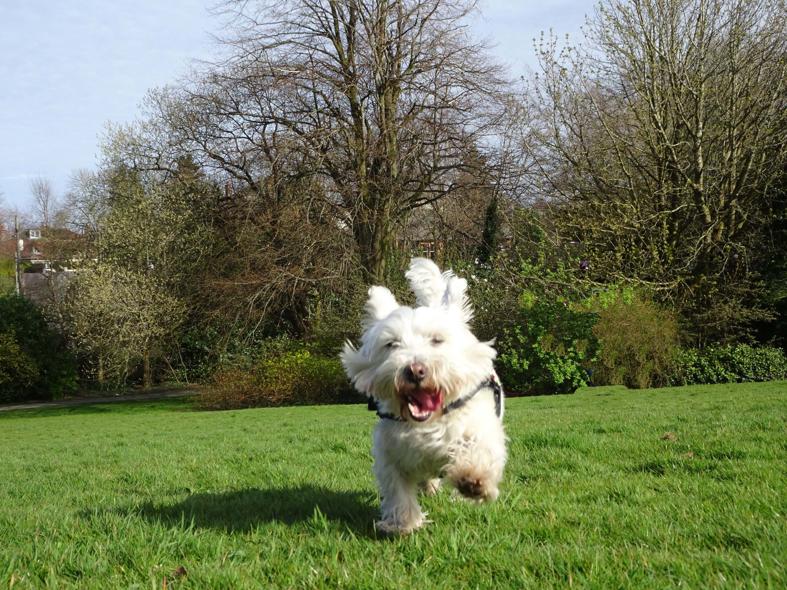 poppy the westie in newlands park 2