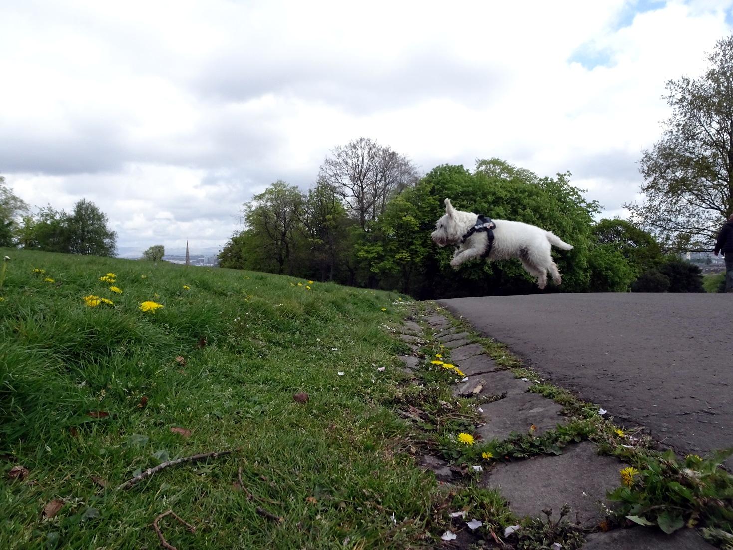 poppy the westie mid jump