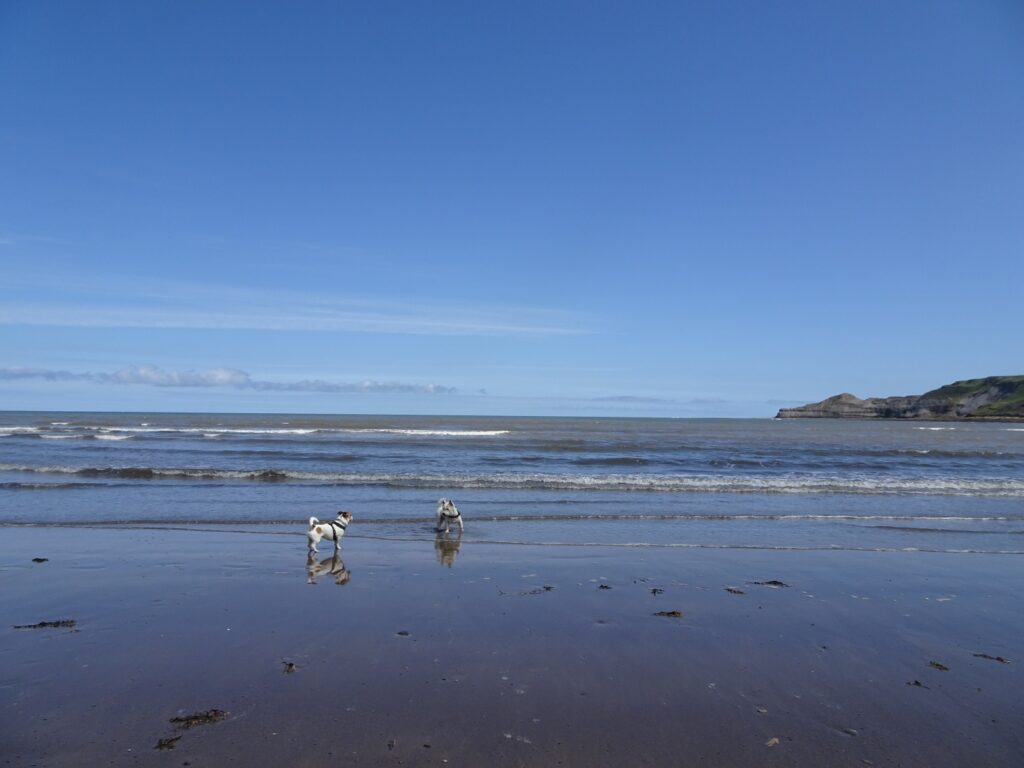 poppy the westie and friend on sands of Runswick bay