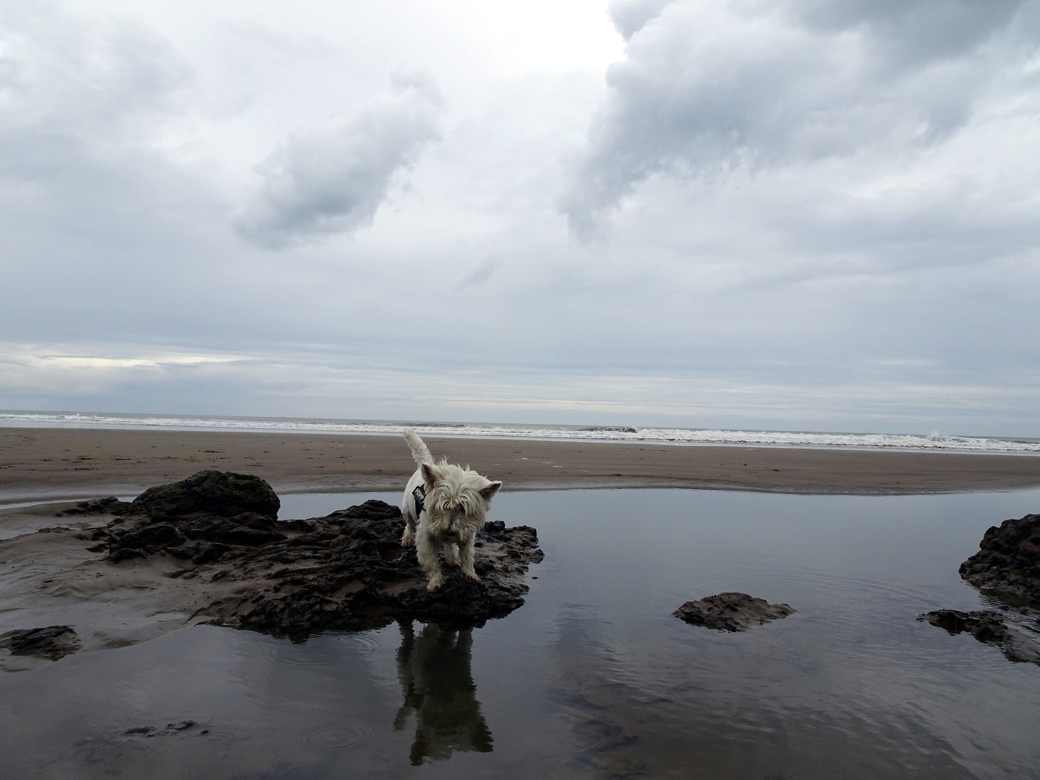 poppy the westie and rock pools