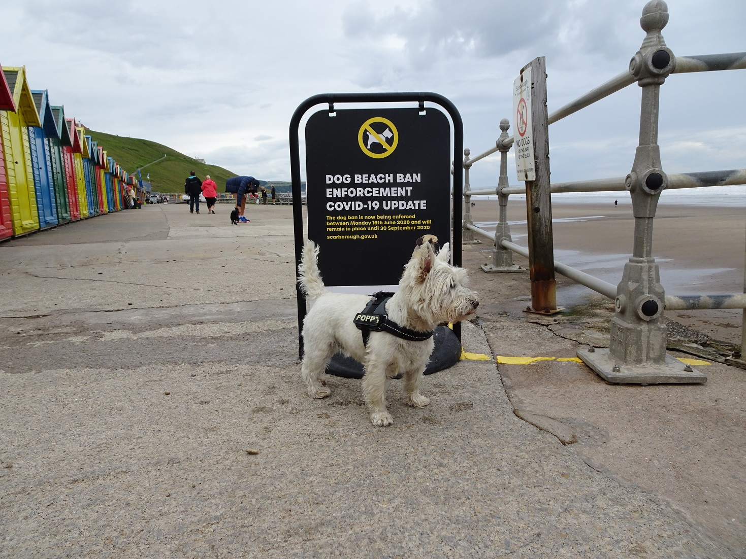 poppy the westie at Whitbey Covid 19
