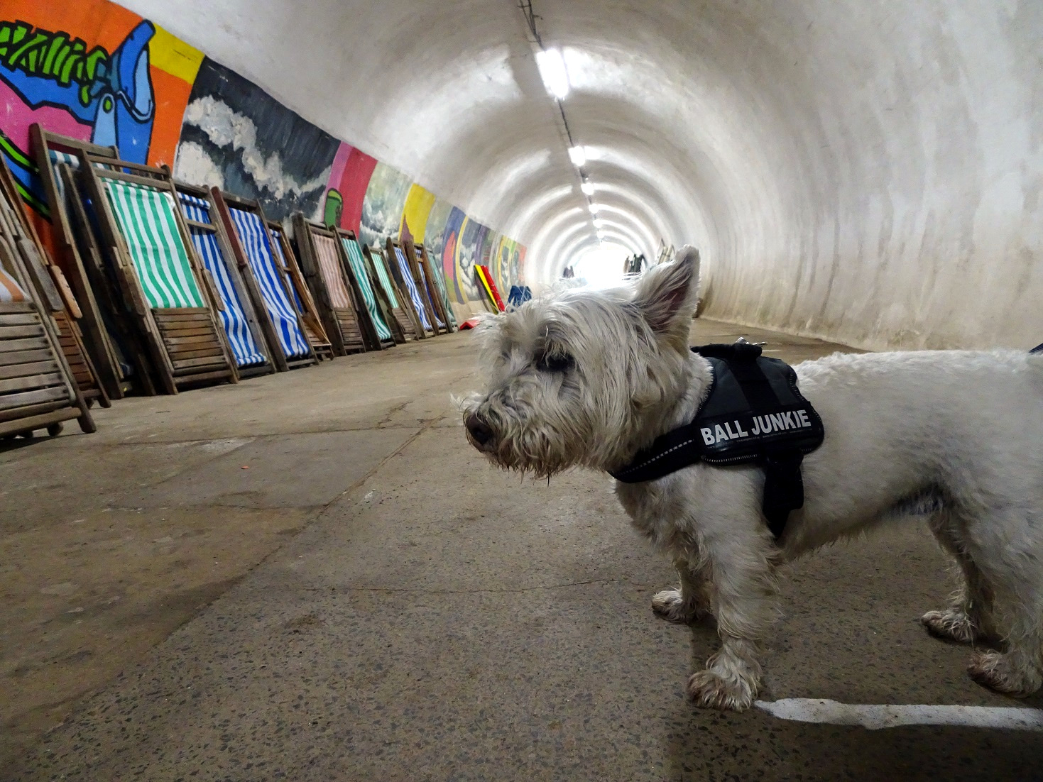 poppy the westie at Whitbey beach lift