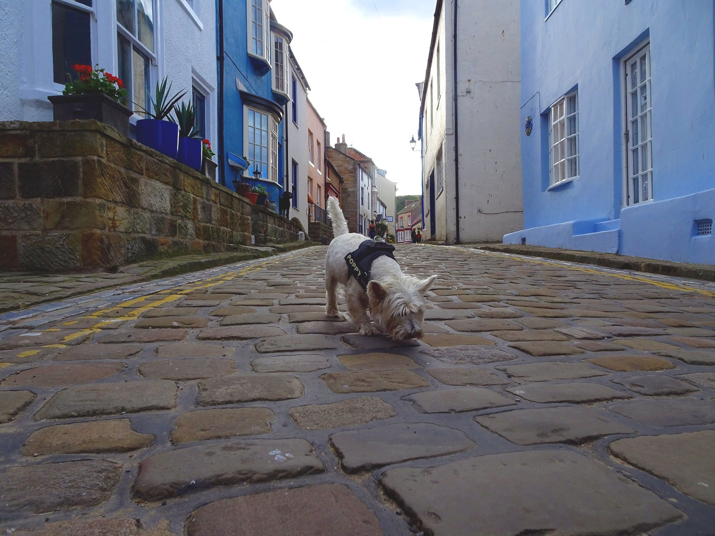 poppy the westie at exploring Staithes