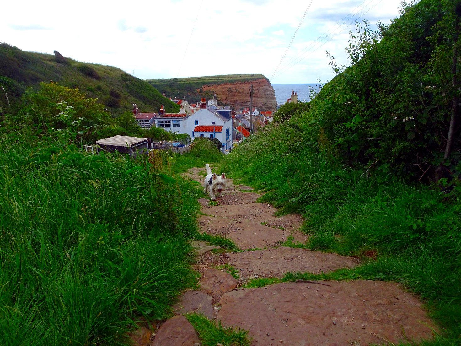 poppy the westie going into Staithes