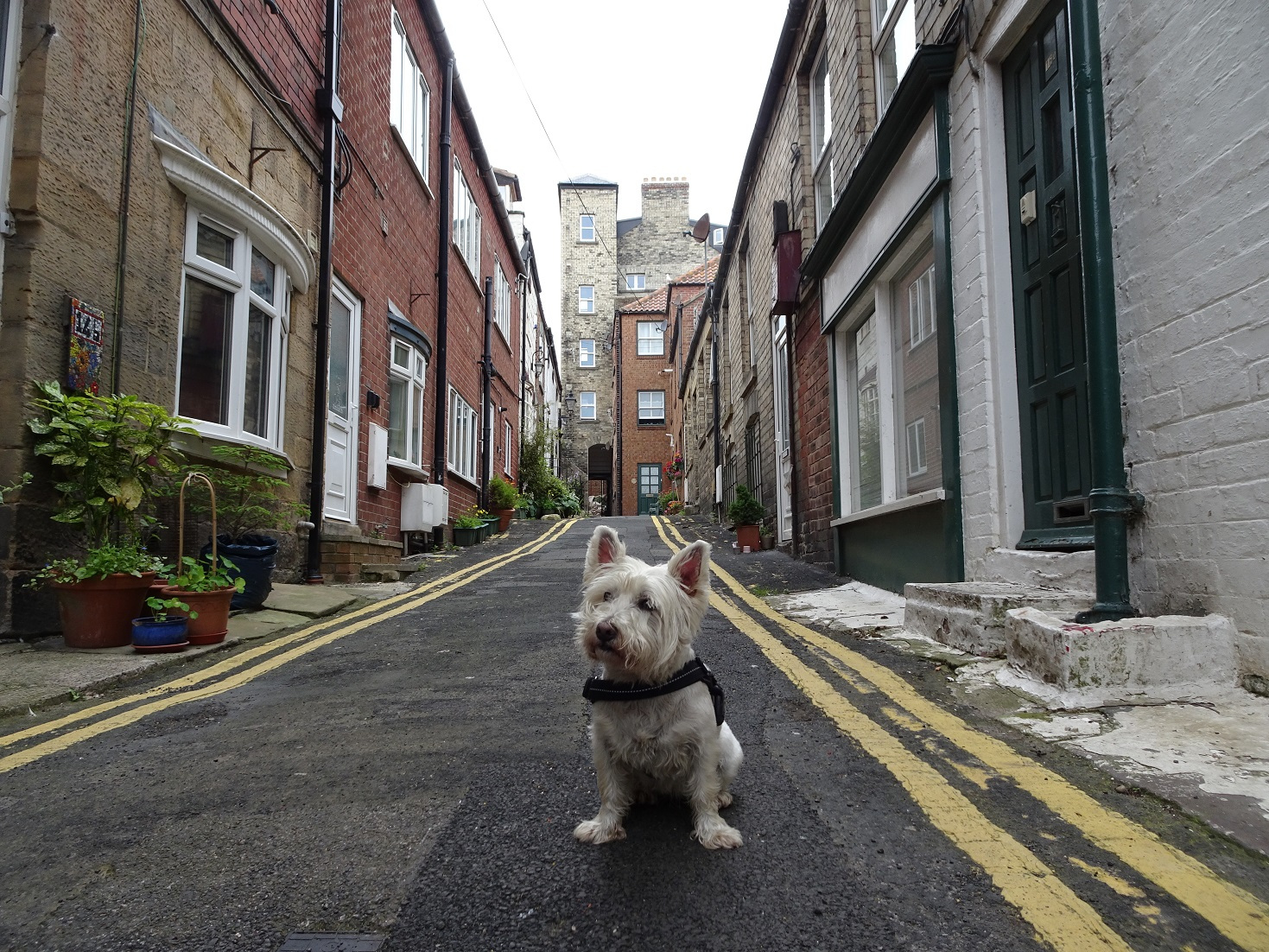 poppy the westie in Whitby Streets