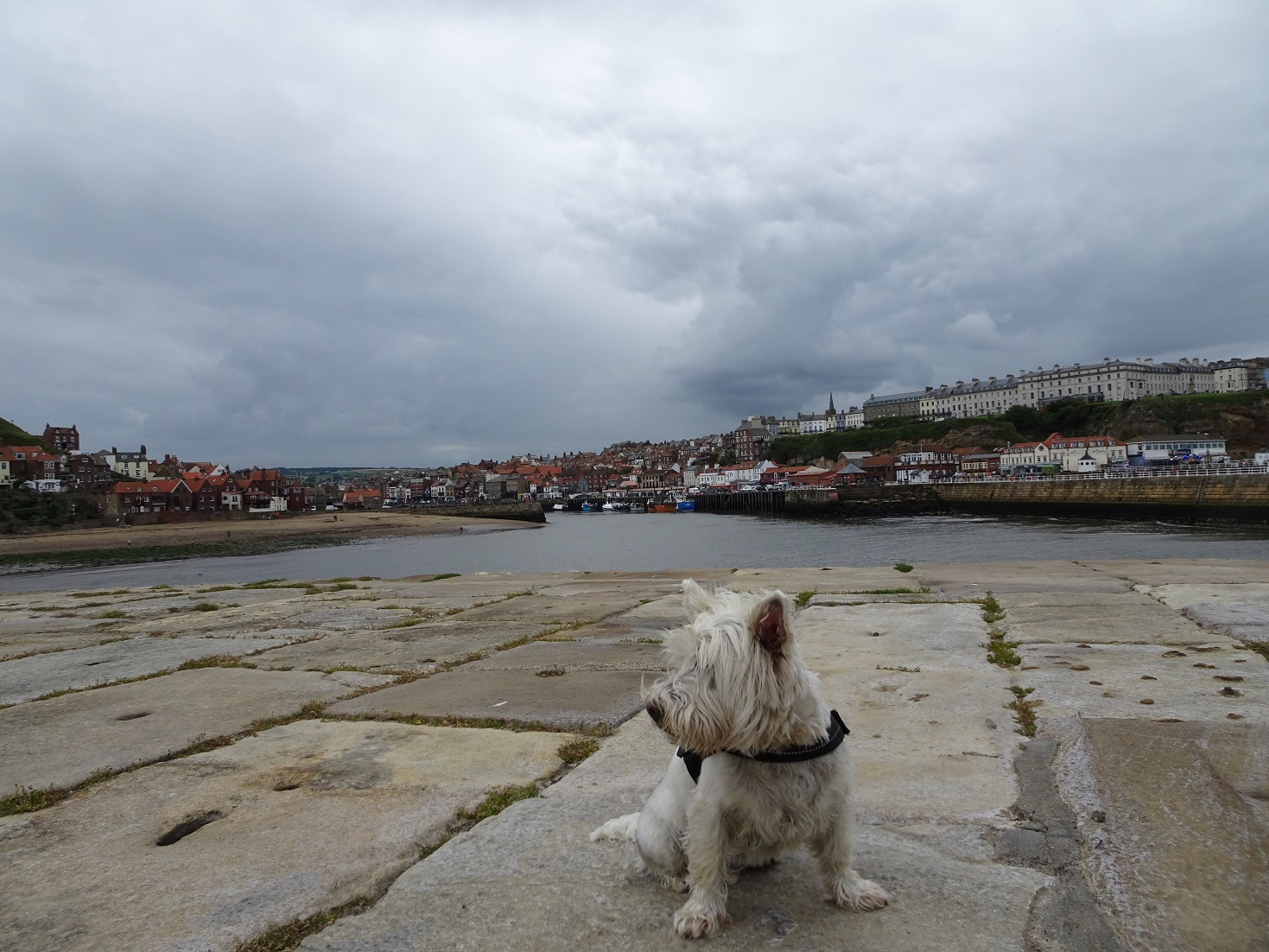 poppy the westie on Whitbey pier