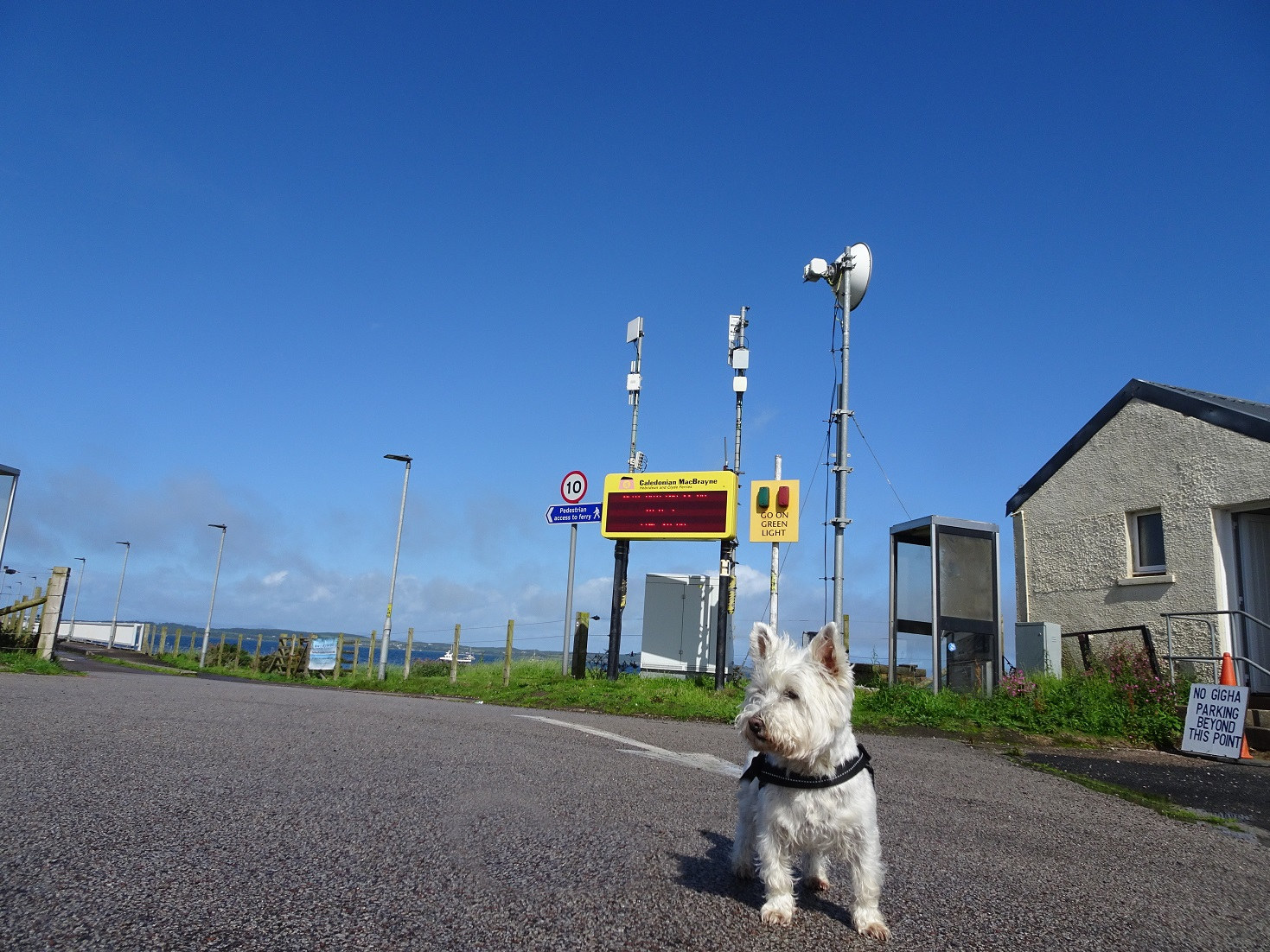 Popppy the westie at Tayinloan