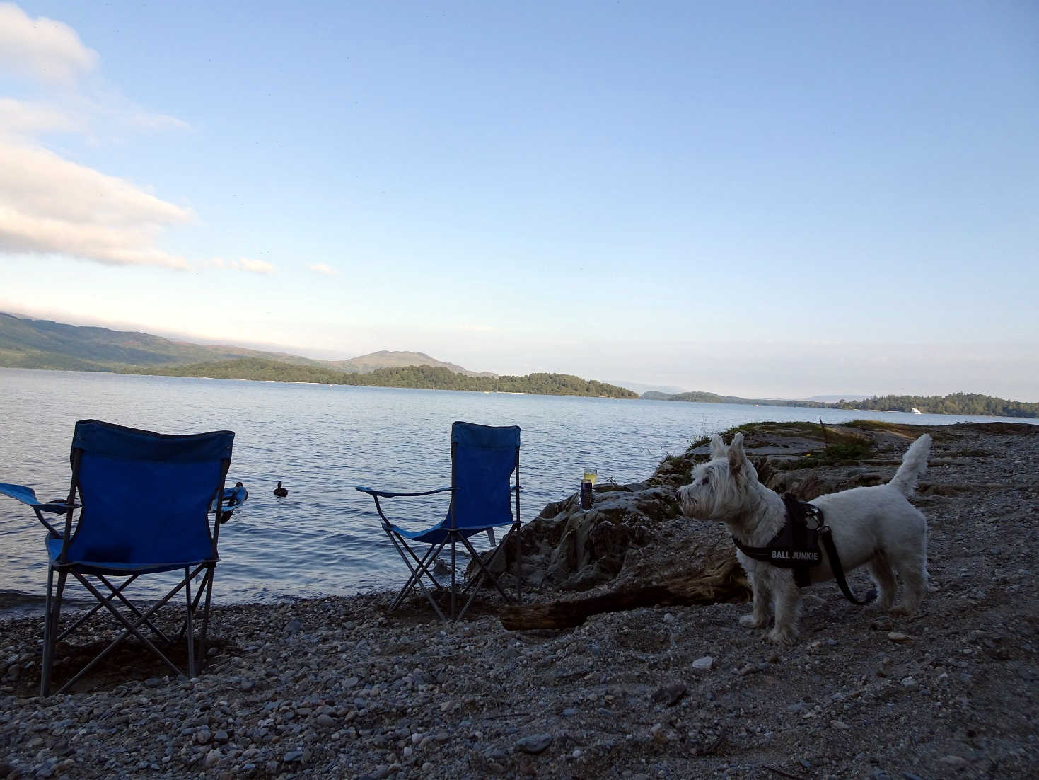 Poppy the westie at Loch Lomond for evening drinks