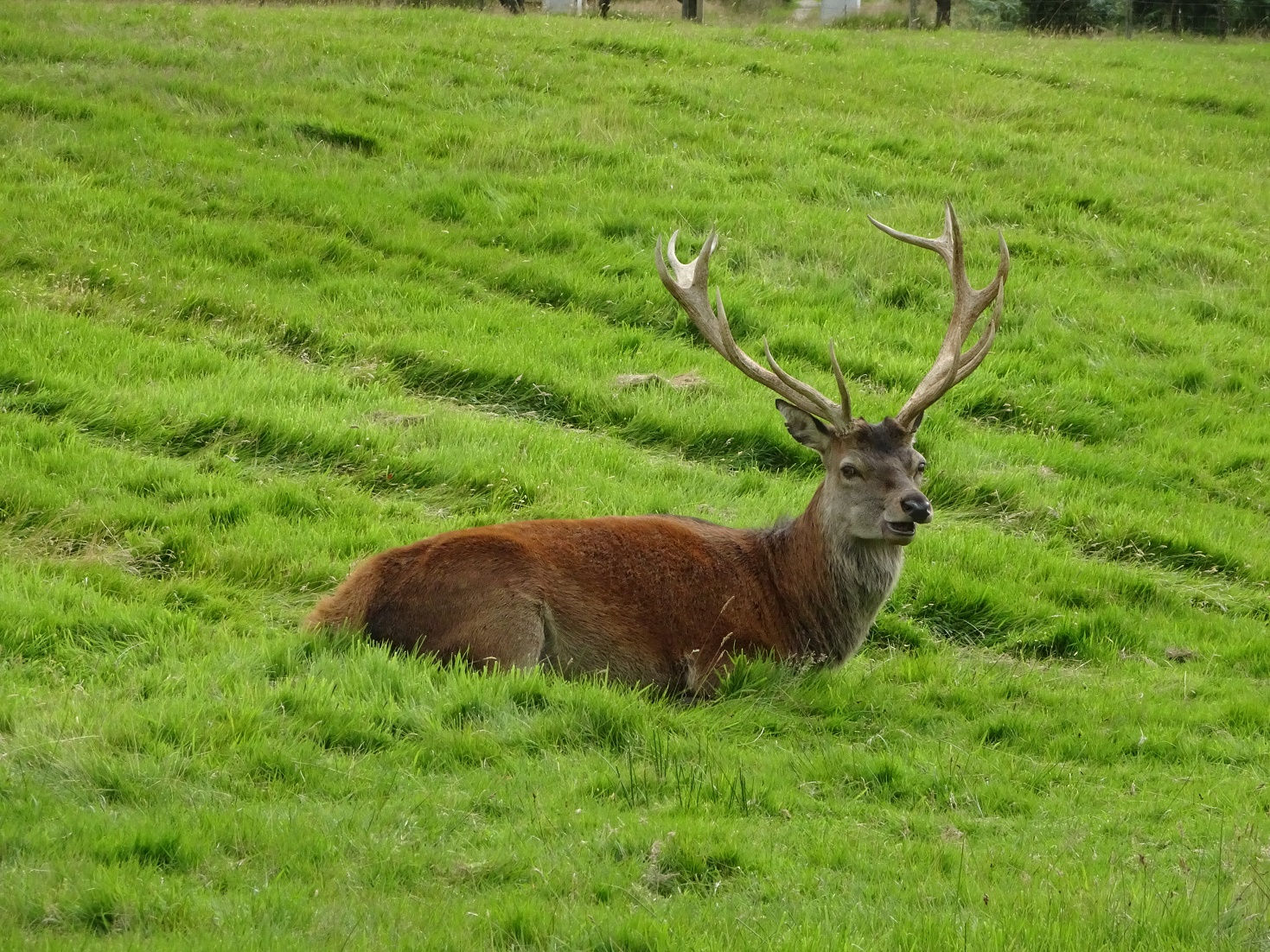 Red Deer at Lochranza campsite