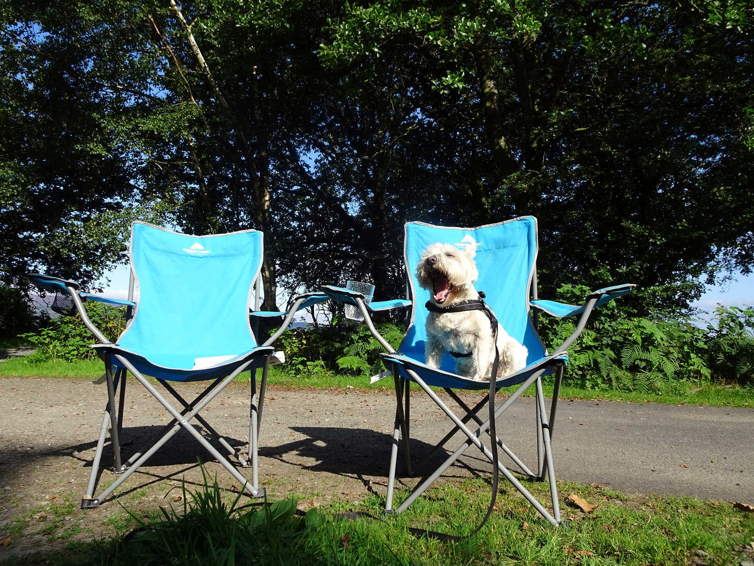 poppy the westie chilling out at Luss Campsite