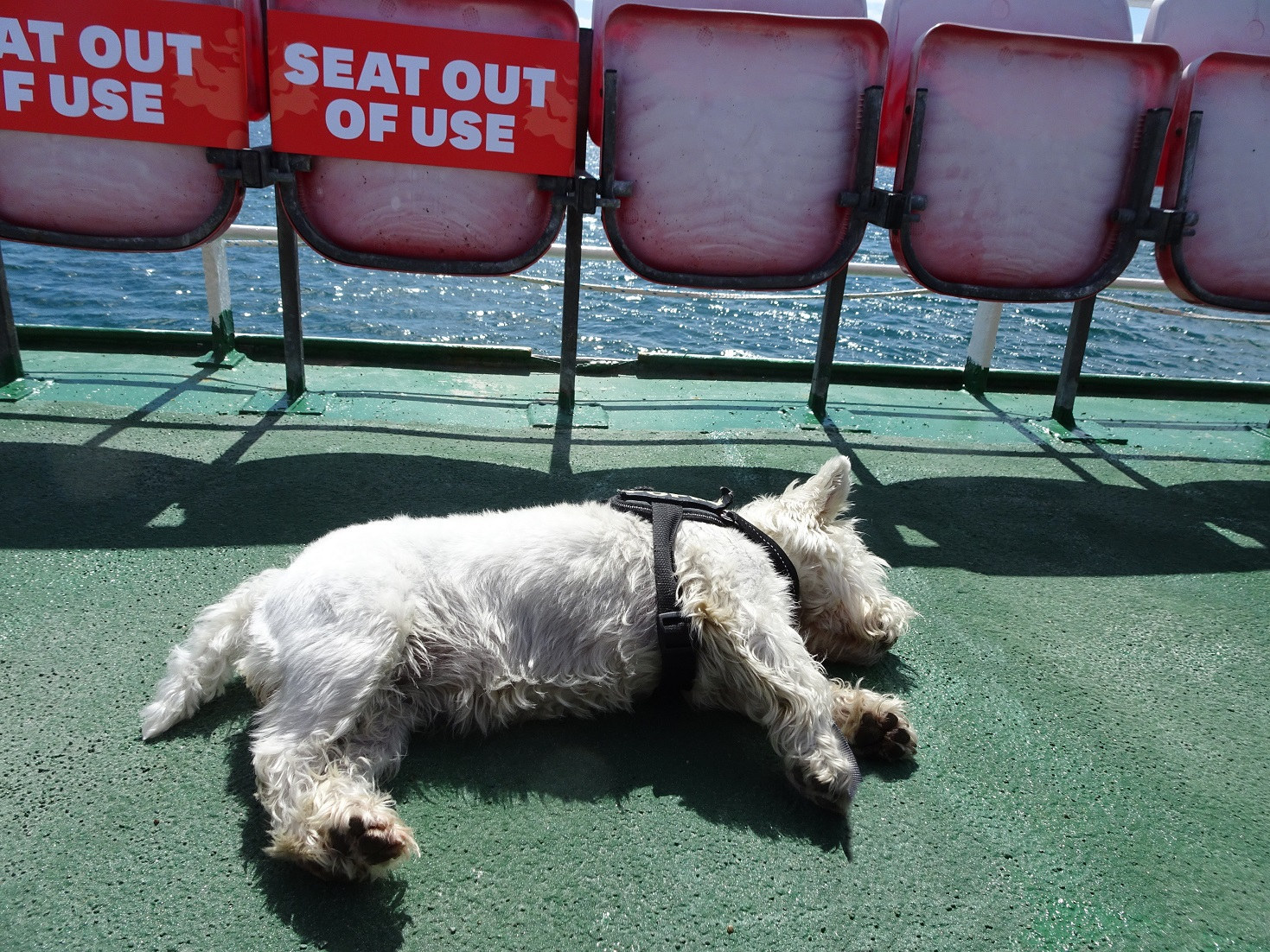 poppy the westie on ferry fron Gigha too much