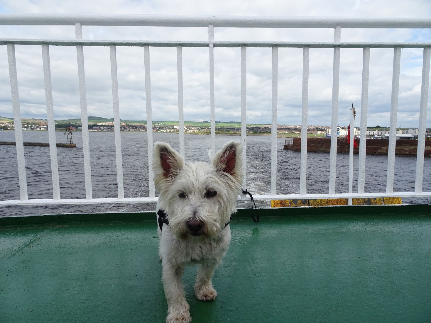 poppy the westie on the deck of the arran ferry