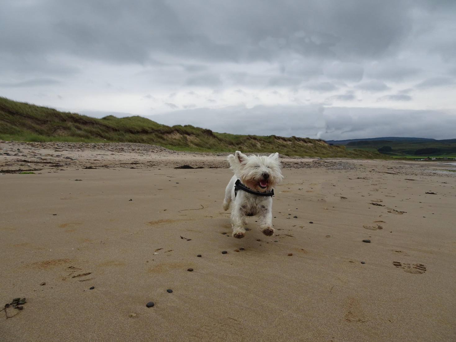 poppy the westie on west port beach
