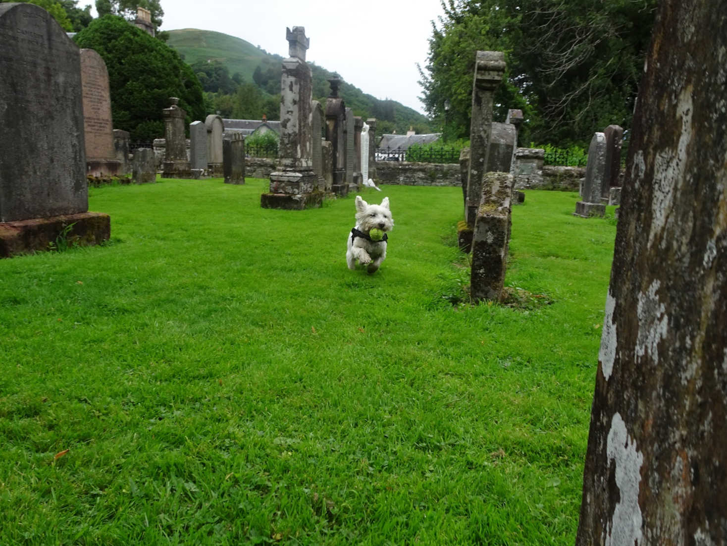 poppy the westie playing ball in St Kessogs church yard