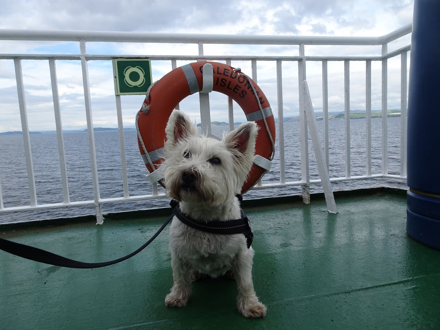 poppy the westie posing by a life bouy