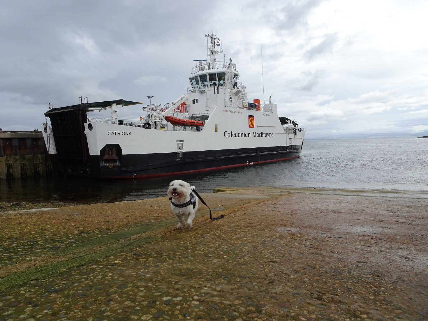 poppy the westie spots the ferry at lochranza