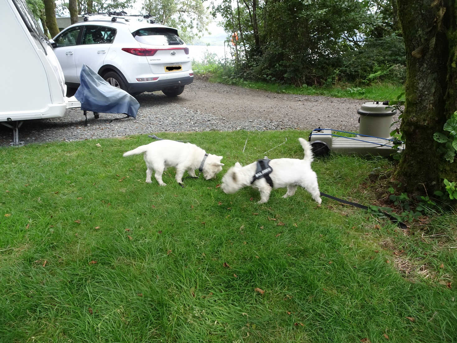 poppy the westie with archie at Luss