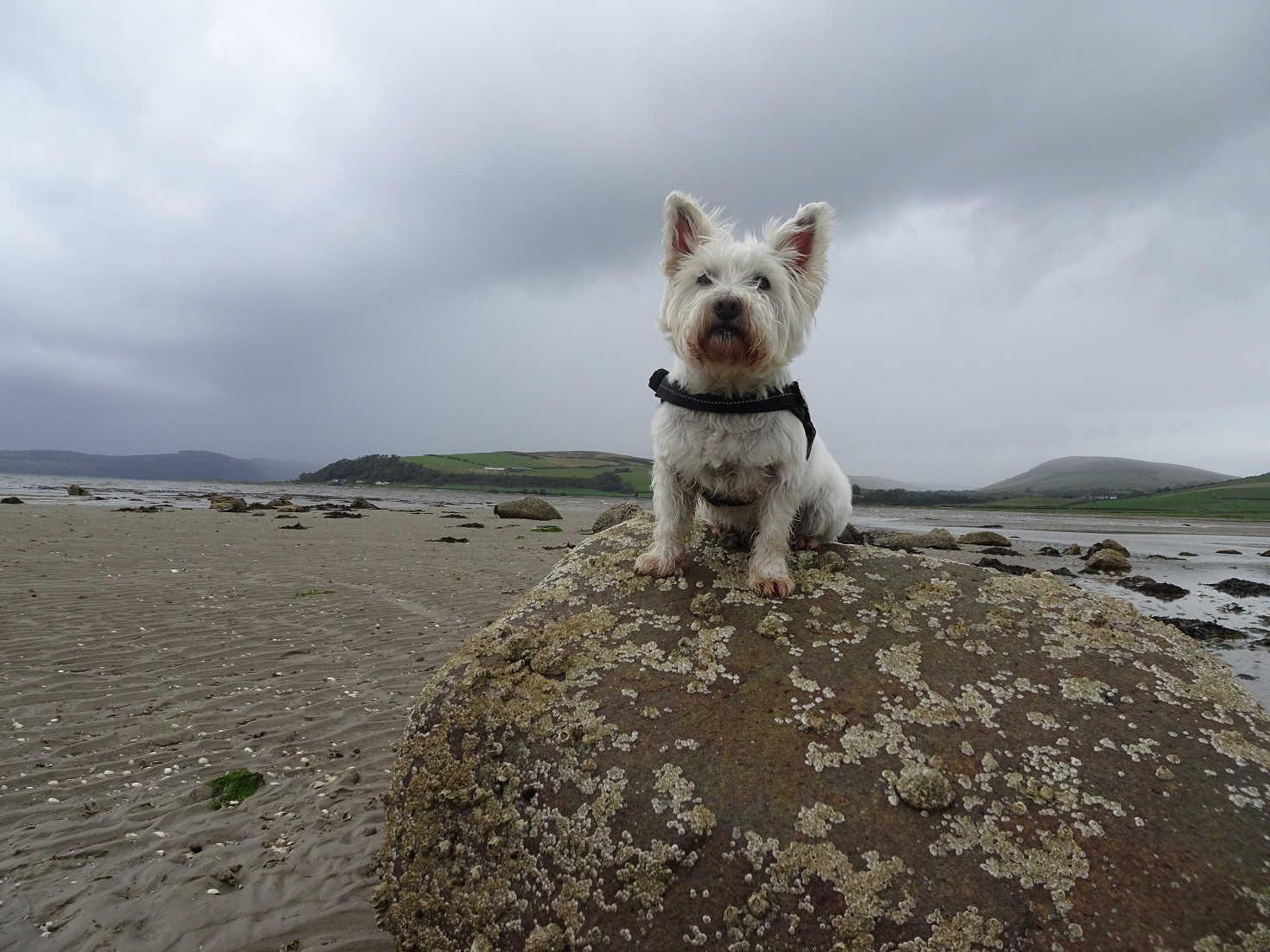 poppy the westie at ettrick bay as rain roles in