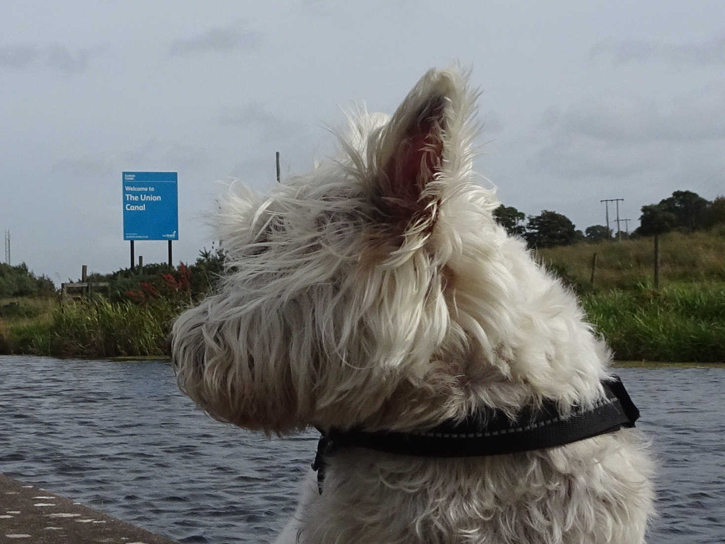 poppy the westie at the union canal
