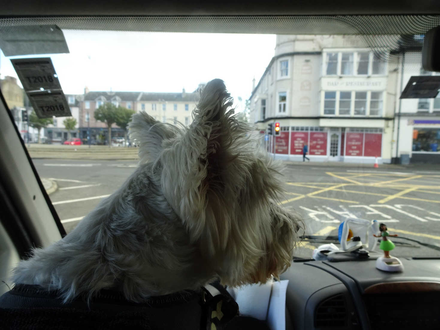 poppy the westies firts sight of bute