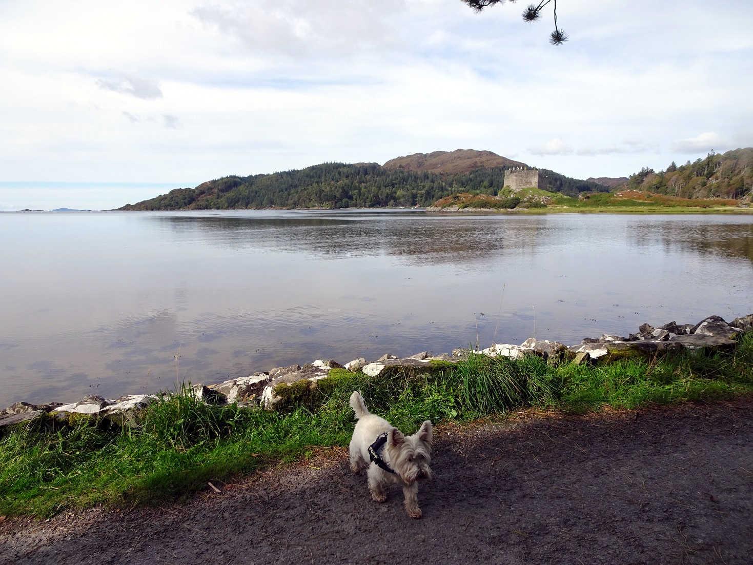 Poppy the westie at Loch Moidart