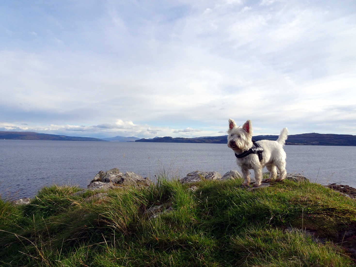 Poppy the westie by the sound of Mull