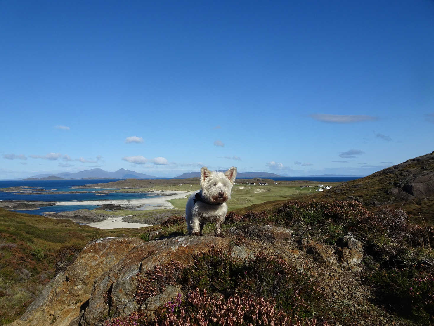 Poppy the westie finds Sanna Beach