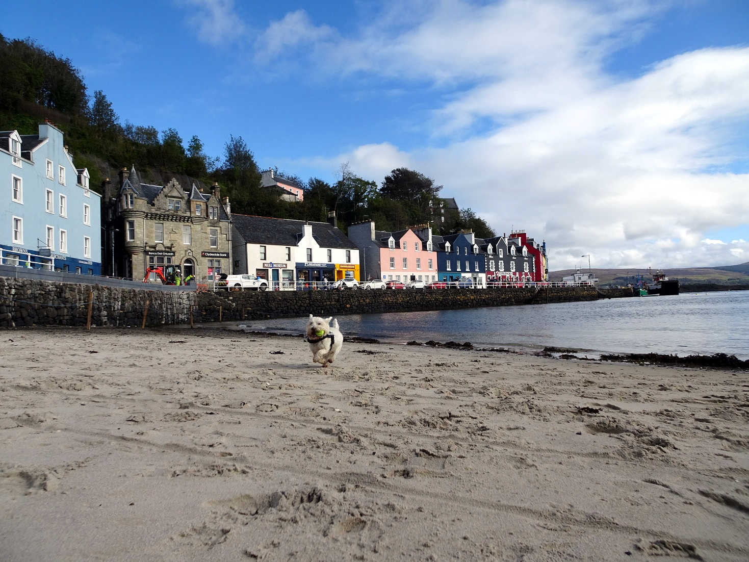 Poppy the westie playing ball on Tobermory Beach