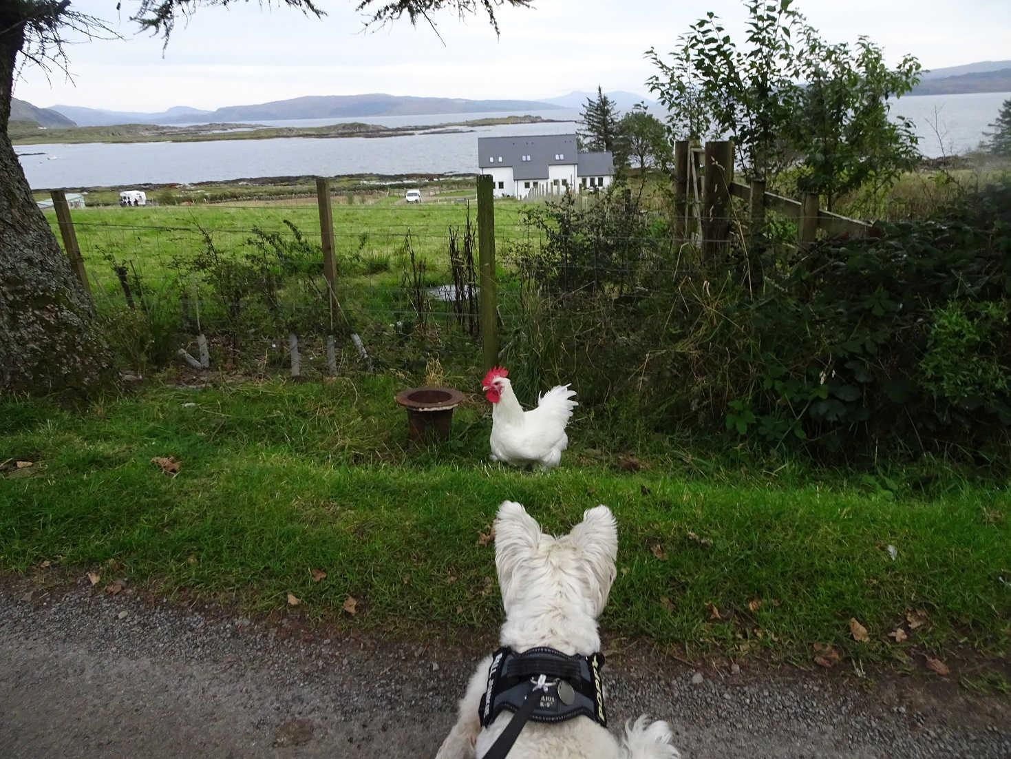 poppy the westie and chicken Kilchoan