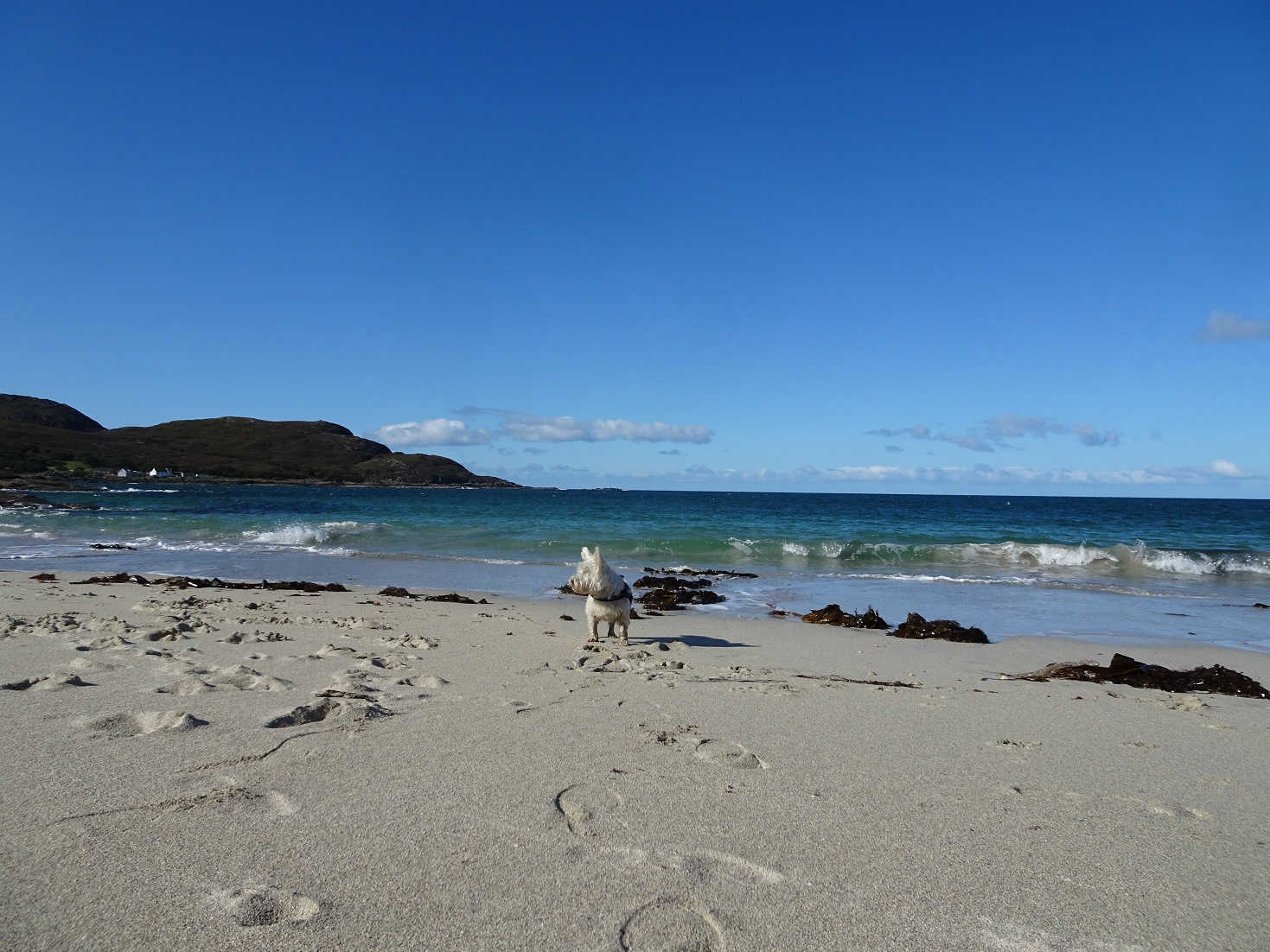 poppy the westie at first bay sanna