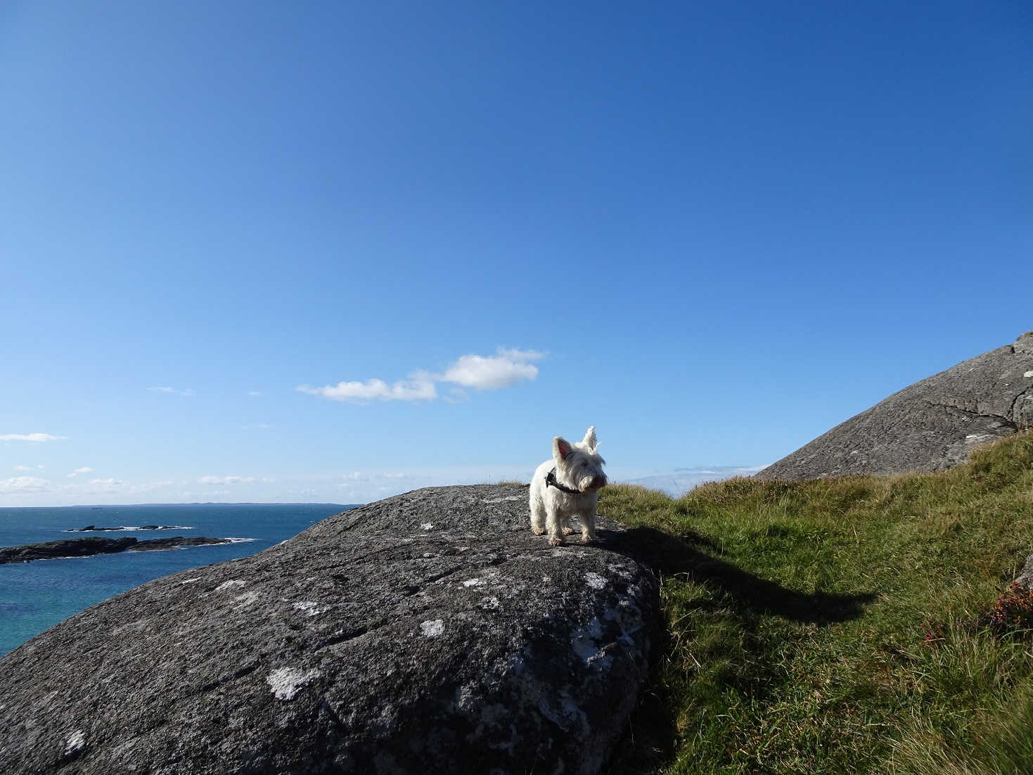 poppy the westie at sanna point