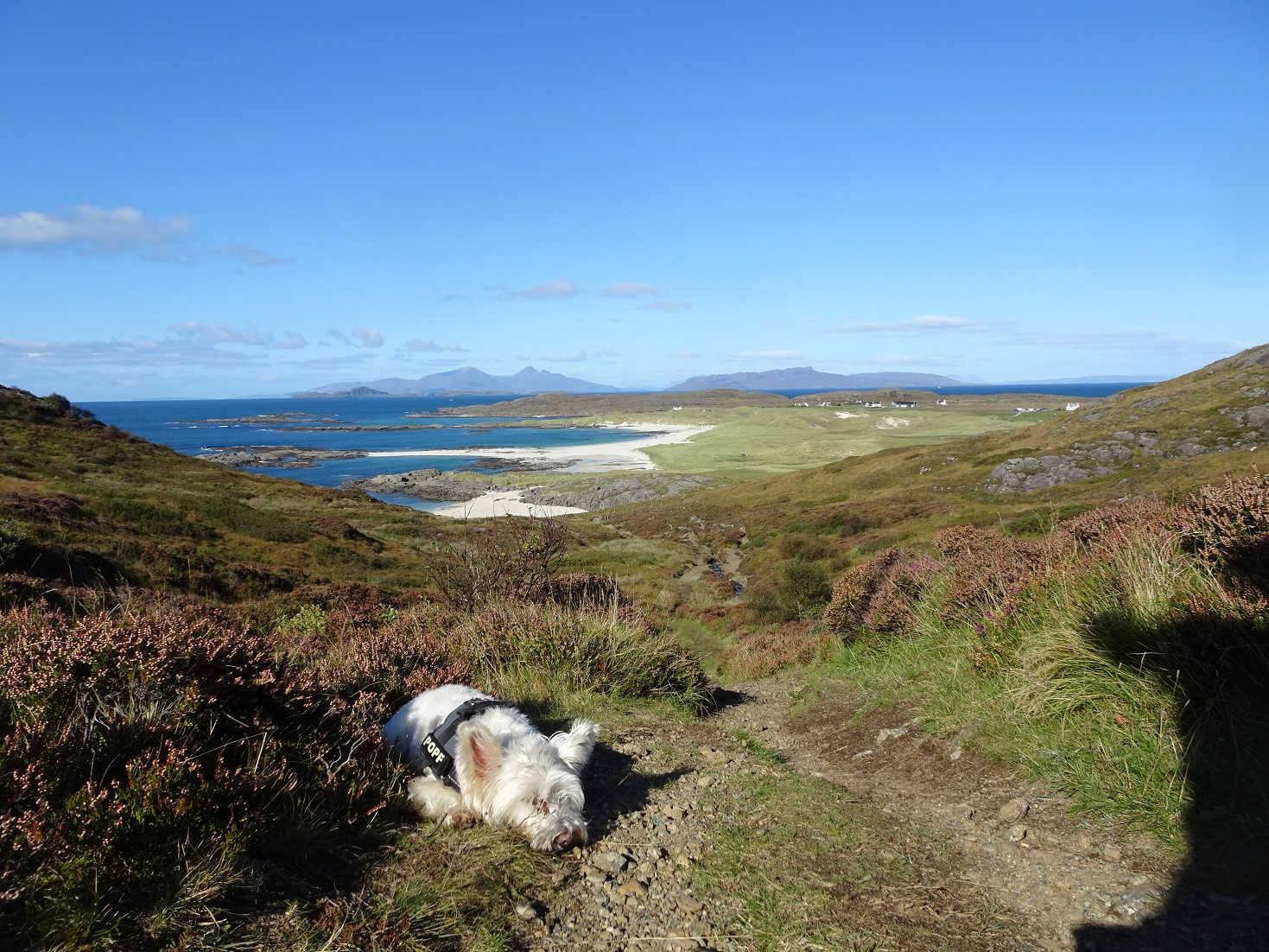 poppy the westie bushed above sanna