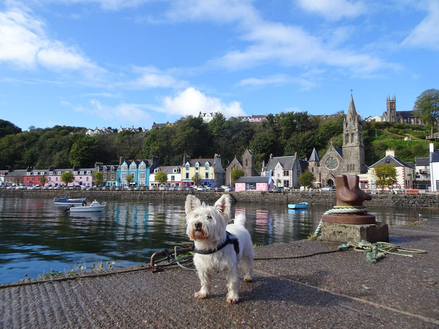 poppy the westie explores the main pier at Tobermory