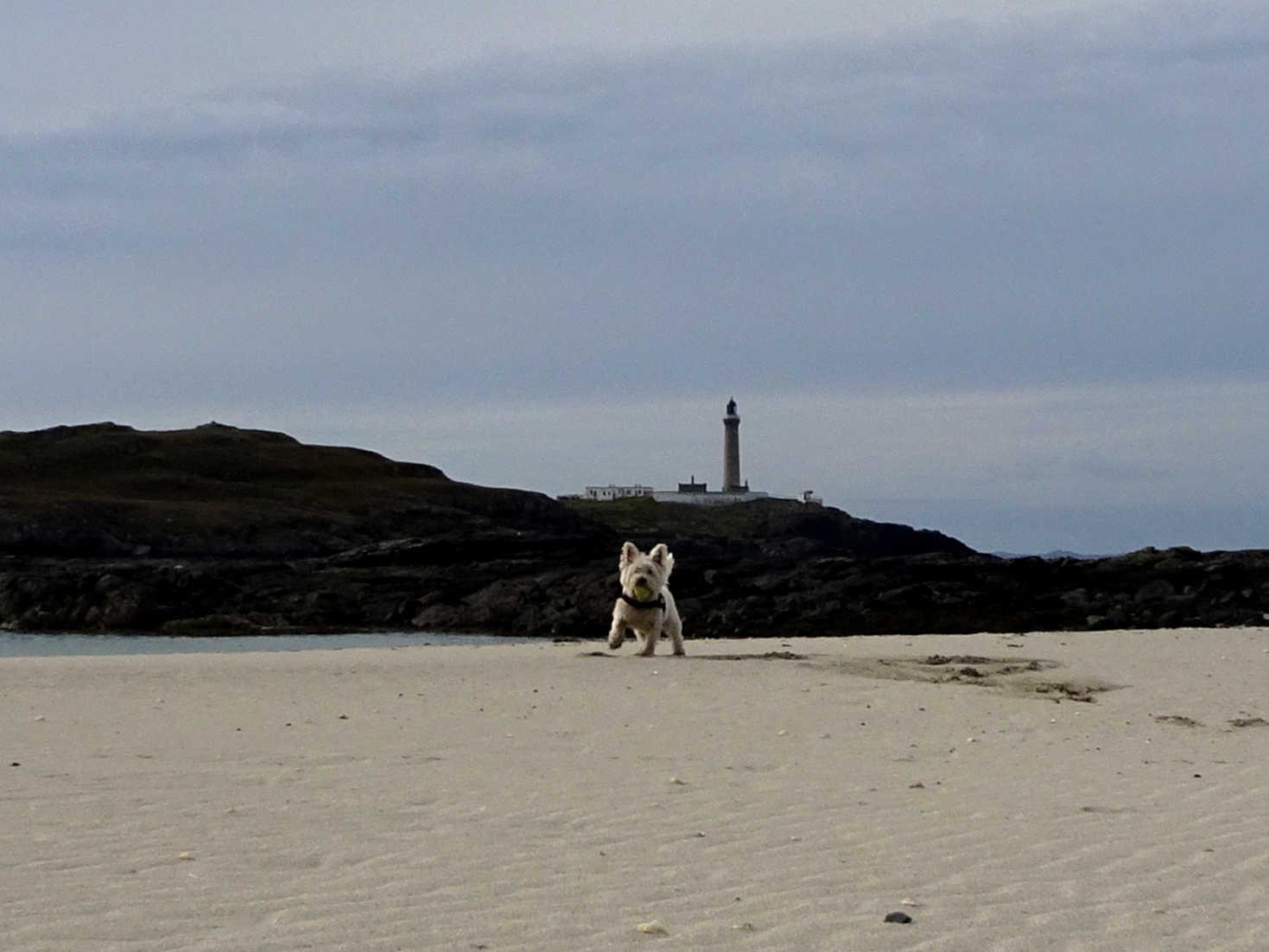 poppy the westie on MacNeil Beach Ardnamurchan2