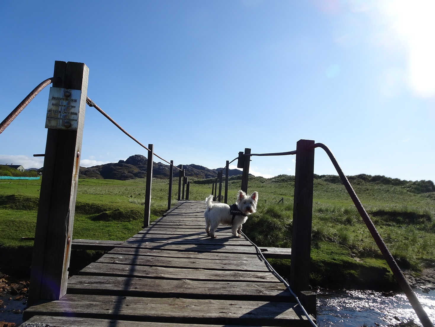 poppy the westie on bridge to sanna beach