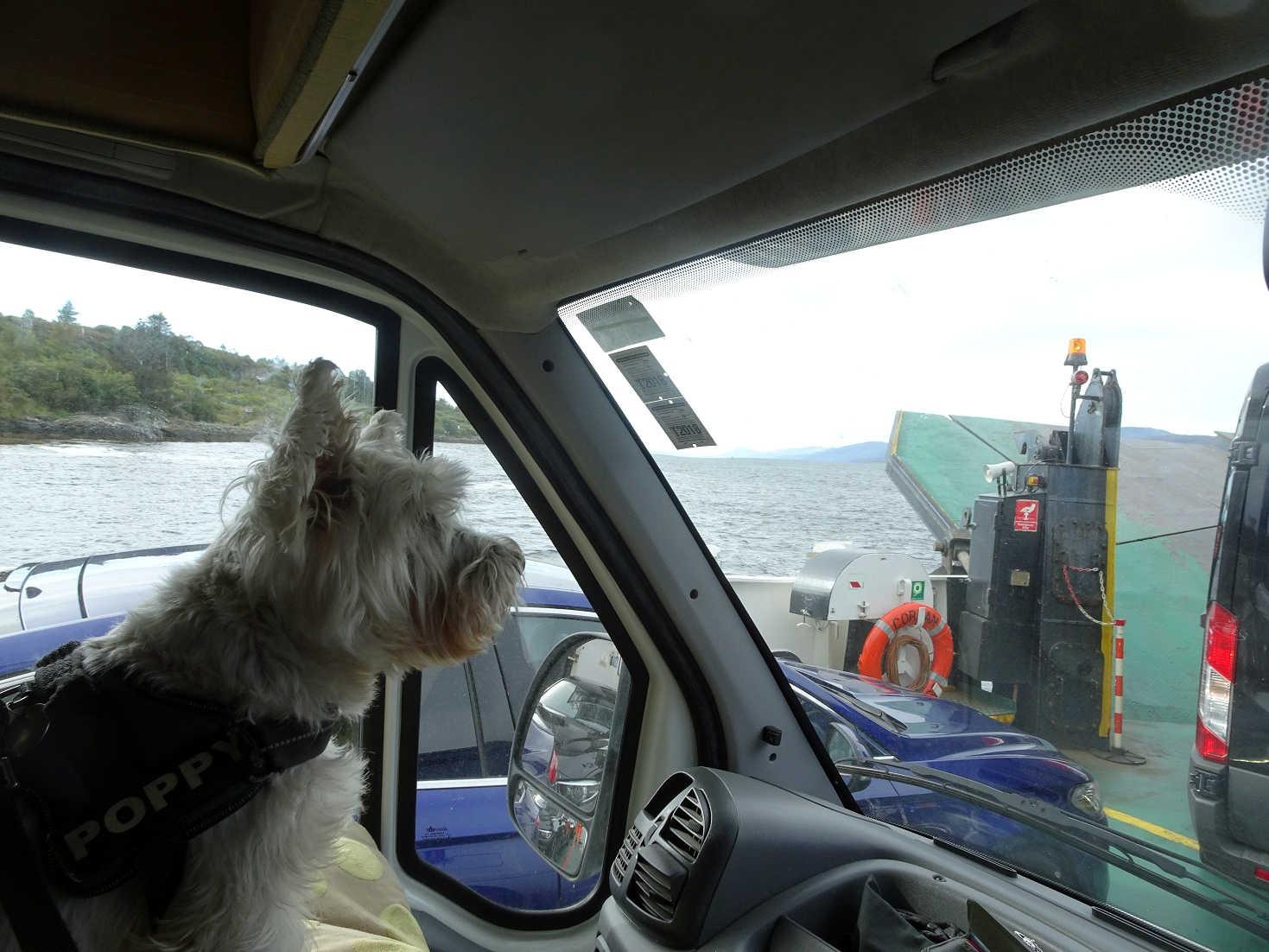 poppy the westie on the corran ferry