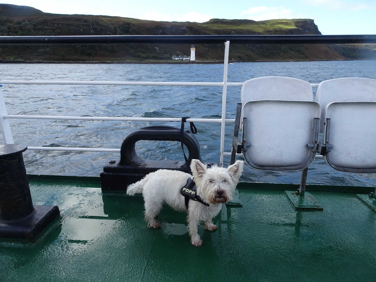 poppy the westie on the mull ferry